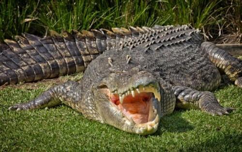 5_cocodrilo_de_agua_salada_crocodylus_porosus_23598_4_600